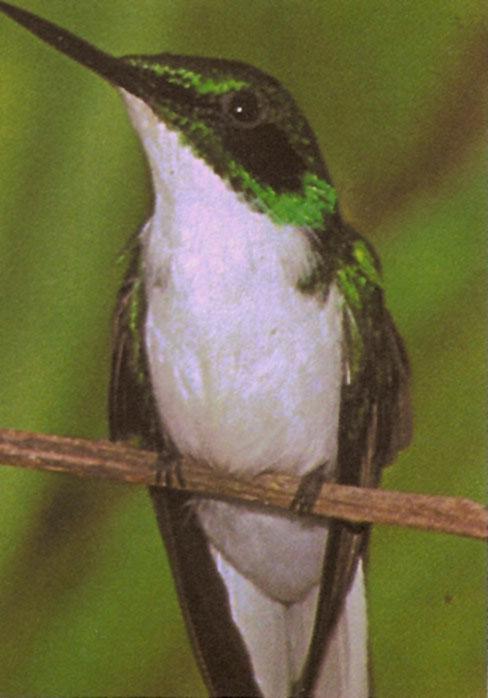 COLIBRI (oiseau mouche)