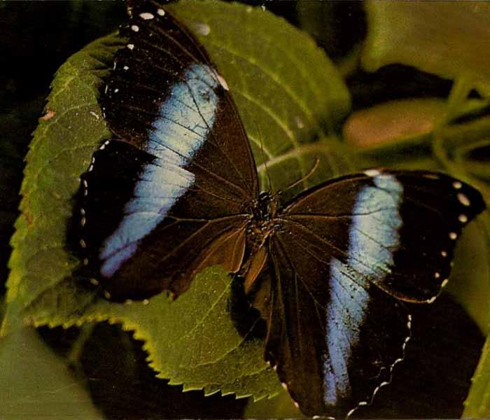 MORPHO ACHILLES (Bleu Barré)
